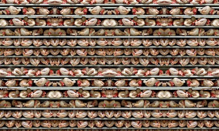 Chair de poule -photographie primée Grand Palais- Muriel Marchais